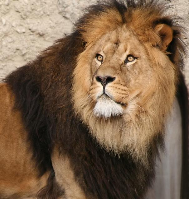 Big Male Lion | Flickr - Photo Sharing!