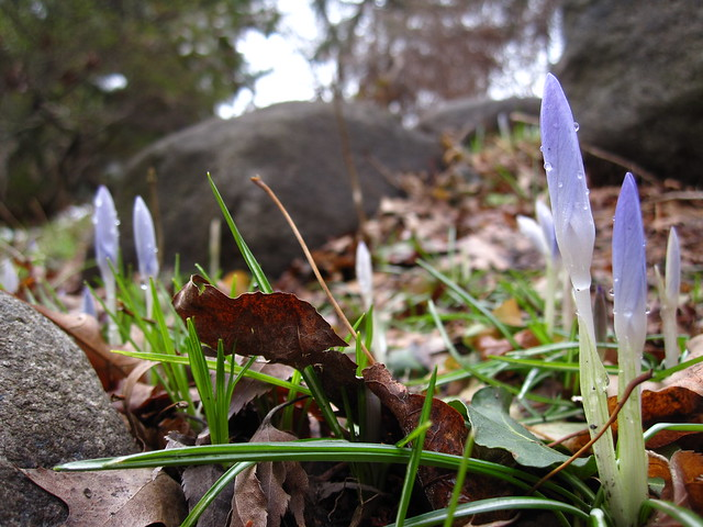 Hundreds of Crocus buds are emerging in the Rock Garden at BBG. Photo by Rebecca Bullene.
