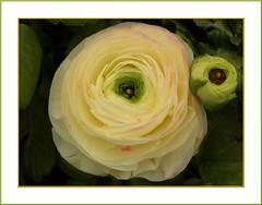 Ranunculus asiaticus; bouton d'or; butterblume.