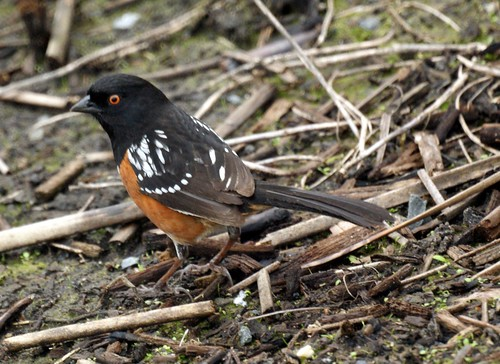 Spotted Towhee: San Joaquin Wildlife Sanctuary