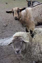 The goat on the sheep, par Franck Vervial