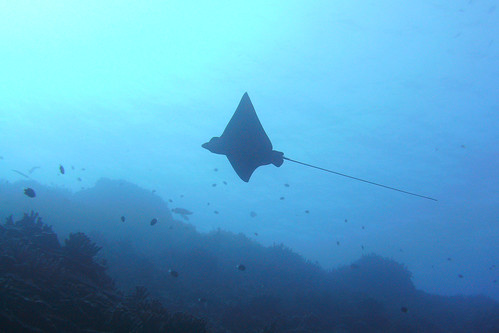 hawaii scuba kona honaunau spottedeagleray