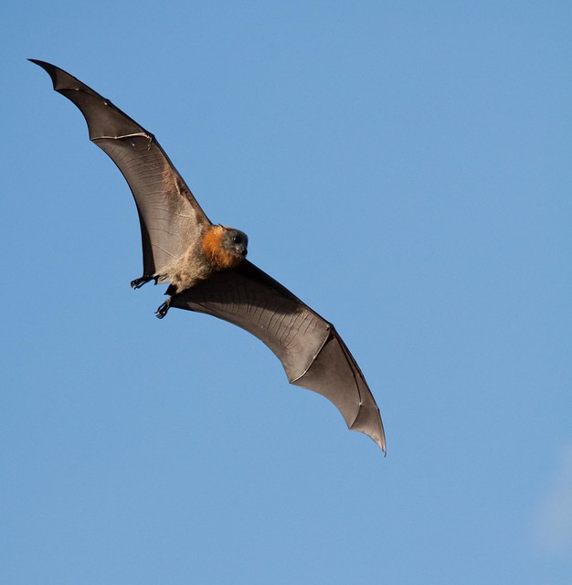 Fruit Bat - Flying Fox - a photo on Flickriver