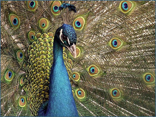 Indian Blue Peafowl
