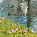 Small photo of Sea Otters & Ice Plant