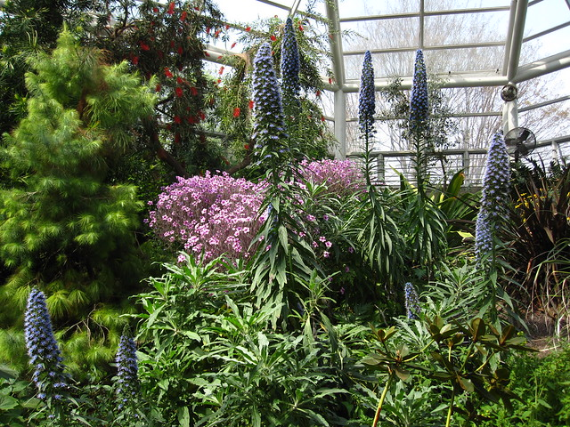 Echium candicans and Geranium maderense bloom together in the Warm Temperate Pavilion. Photo by Rebecca Bullene.