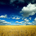 Big Fluffy Clouds Over a Montana Wheat Field