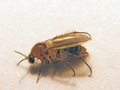 Mycetophilidae>? fungus gnat? 0008