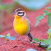 Golden-breasted Bunting - Photo (c) Ian White, some rights reserved (CC BY-ND)