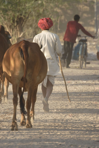 Watering cattle in Rajasthan