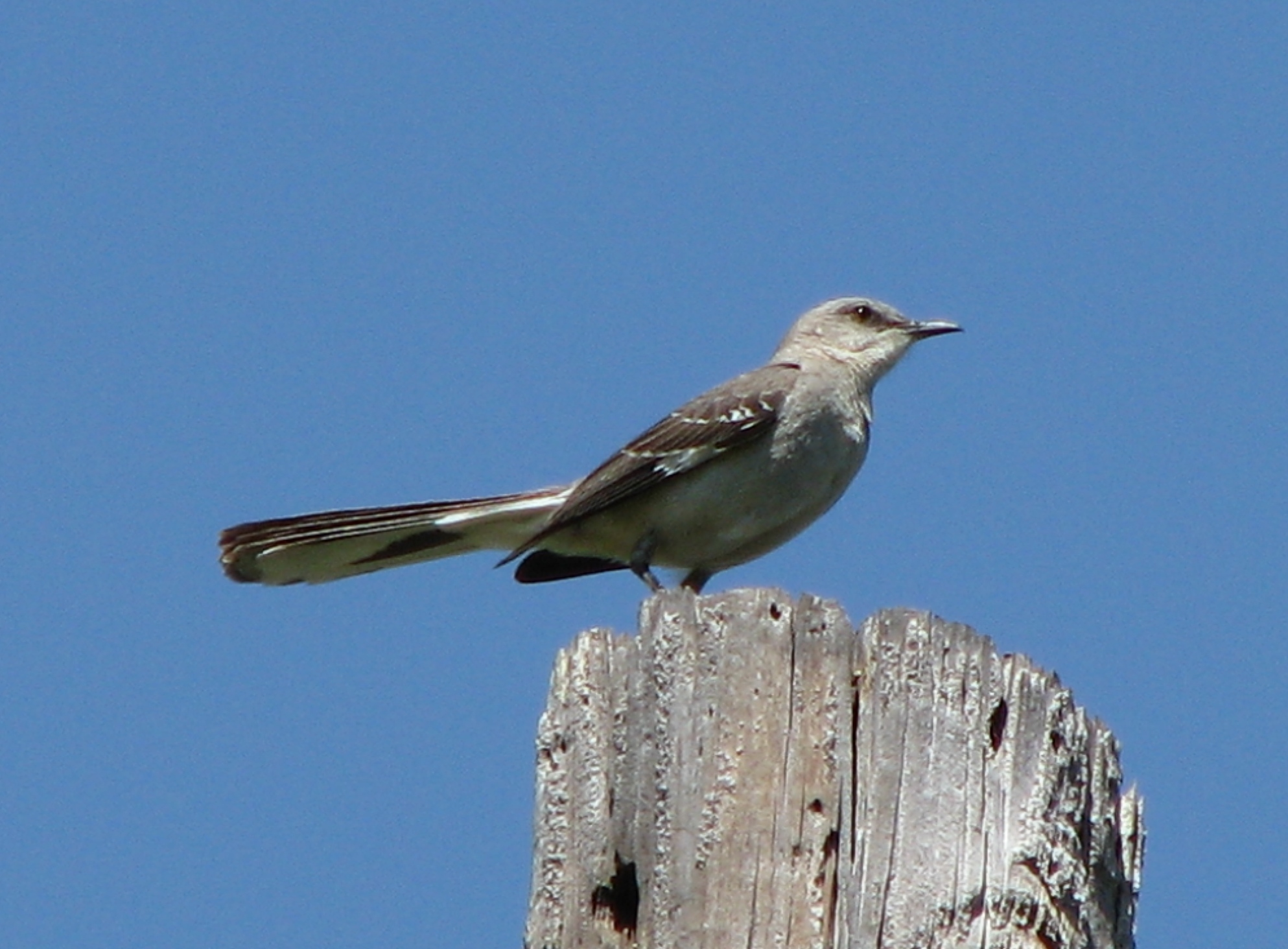 Picture a day july 24 2010 northern mockingbird mimus polyglottos at devil 39 s river state - The worlds biggest rooftop farm nature reclaims its territory ...