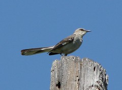 Northern Mockingbird - Photo (c) mlhradio, some rights reserved (CC BY-NC)
