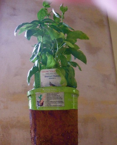 what we're planting: sweet basil by trudeau