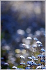 Forget-Me-Not Bokeh