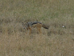 animal, prairie, grass, plain, mammal, jackal, fauna, coyote, savanna, grassland, wildlife,