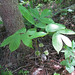 Wild Sarsaparilla - Photo (c) Josh*m, some rights reserved (CC BY-NC-SA)