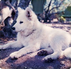 dog breed, animal, canis lupus tundrarum, west siberian laika, dog, czechoslovakian wolfdog, pet, norwegian buhund, white shepherd, canadian eskimo dog, east siberian laika, berger blanc suisse, greenland dog, kishu, korean jindo dog, wolfdog, saarloos wolfdog, carnivoran, american eskimo dog, samoyed,