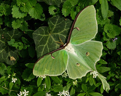 Luna Moth (Actias luna), by Bud Hensley @ Trek Nature