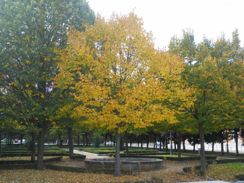 Tilo en otoño 1
