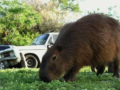 animal, mammal, fauna, capybara, wildlife,