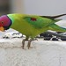 Delhi Rooftop: Plum-headed Parakeet male