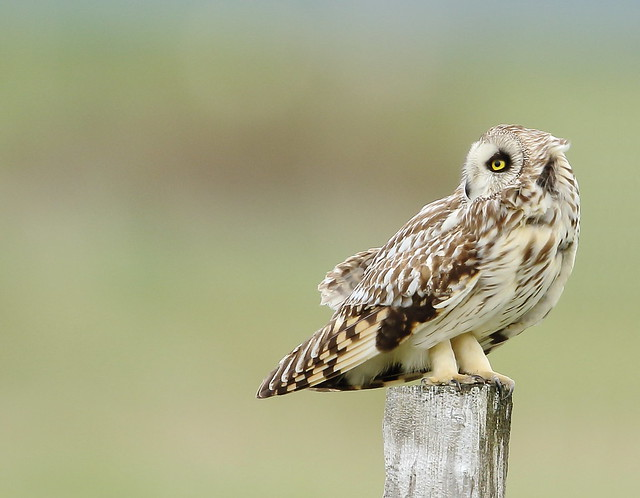 Short-eared Owl, Canon EOS 7D MARK II, Canon EF 500mm f/4L IS II USM