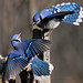 Published in National Geographic Backyard Guide to the Birds of North America by JRIDLEY1