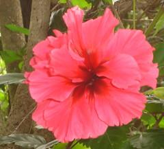 Glorious hibiscus