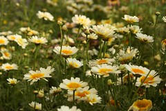 grass(0.0), garden cosmos(0.0), marguerite daisy(0.0), tanacetum parthenium(0.0), oxeye daisy(0.0), sulfur cosmos(0.0), lawn(0.0), grassland(0.0), annual plant(1.0), flower(1.0), field(1.0), plant(1.0), nature(1.0), chamaemelum nobile(1.0), daisy(1.0), wildflower(1.0), flora(1.0), meadow(1.0), daisy(1.0),