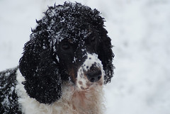 standard poodle, animal, dog, boykin spaniel, snow, pet, mammal, english cocker spaniel, spaniel, poodle, portuguese water dog, english springer spaniel, barbet, american water spaniel,