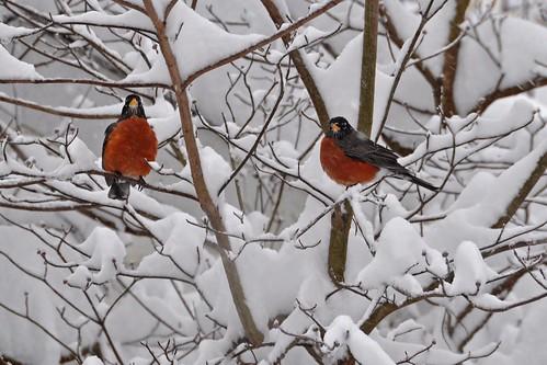 winter snow bird nature fauna garden flora colorful maryland february 2010 18200mmvrlens nikond90 toryporter