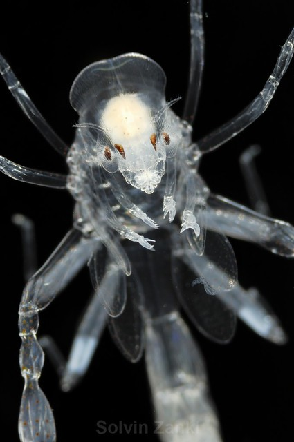 Phronima sp. This amphipod was the inspiration for the character in the movie