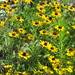 Up Close with Black-Eyed Susans