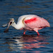 Roseate Spoonbill Mouth Open Merritt Island National Wildlife Refuge by kevansunderland