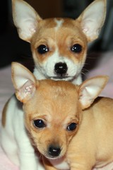 dog breed, chihuahua, animal, dog, pet, russkiy toy, carnivoran,