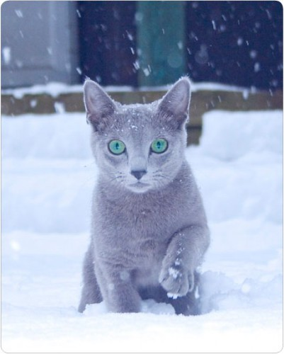 Happy Birthday Russian Blue Cat