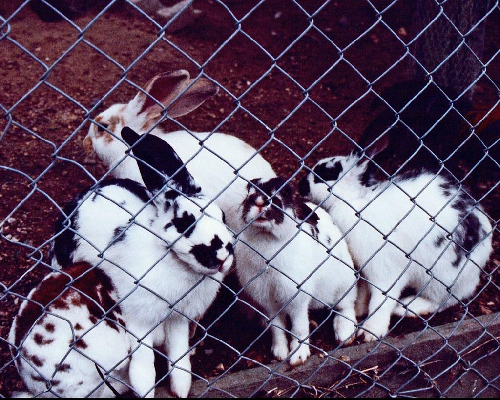 Cherry Island, Taupo, New Zealand, Animals, Cute Rabbits | Flickr