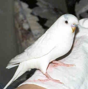 how to look after a baby budgie