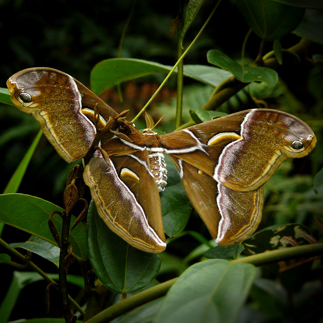 Atlas moth, largest moth in the world
