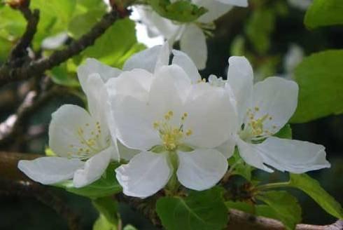 Apple Blossom White