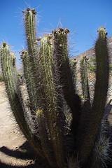 cactus chili