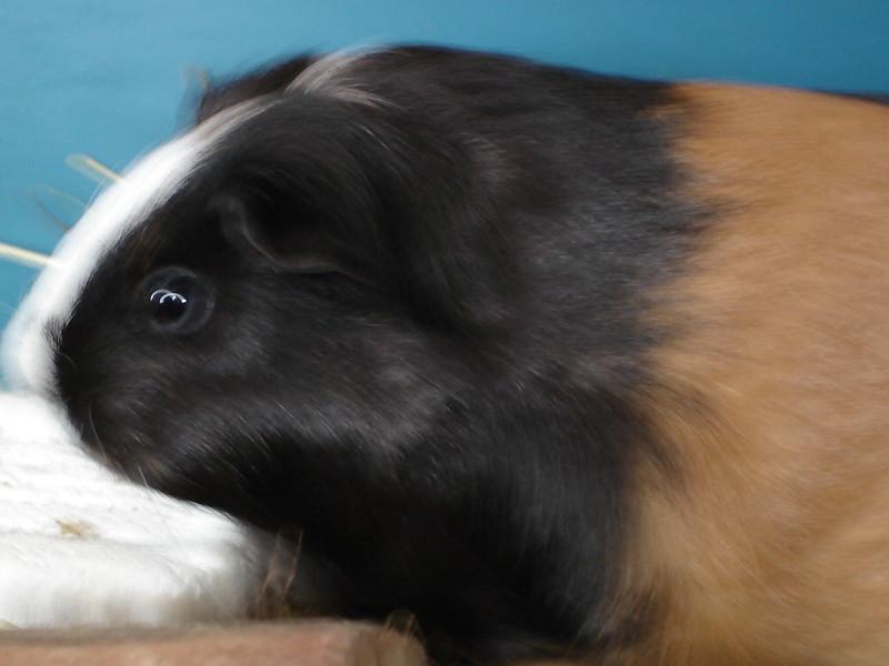 Guinea_Pig_#006