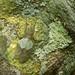 Pseudophyllinae Lichen Mimic by Arddu