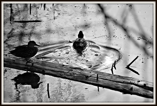 Ducks In B&W