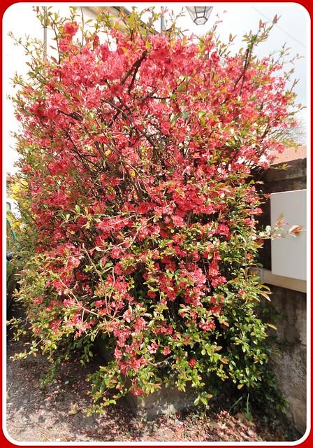 Pommier du japon flickr photo sharing - Pommier du japon toxique ...