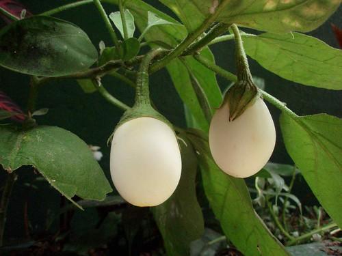 Resultado de imagen de Solanum Ovigerum