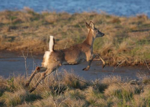 """""""White - tailed Deer"""" """"Odocoileus virginianus""""""""White - tailed Deer"""" """"Odocoileus virginianus"""""""