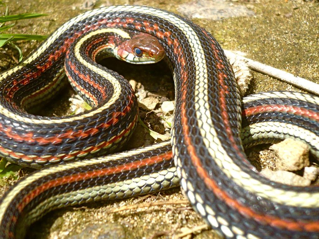 Whats a san francisco garter snake?