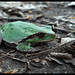 Italian Tree Frog - Photo (c) nene9, some rights reserved (CC BY-NC-ND)
