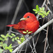 Summer Tanager - Dauphin Island, AL Apr 2010